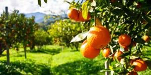 archidom-realty.com-kak-zarabotat-sobiraya-apelsiny-v-ispanii-01-800x400