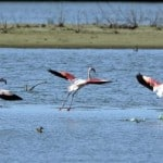 Розовые фантазии: фламинго соленых озер
