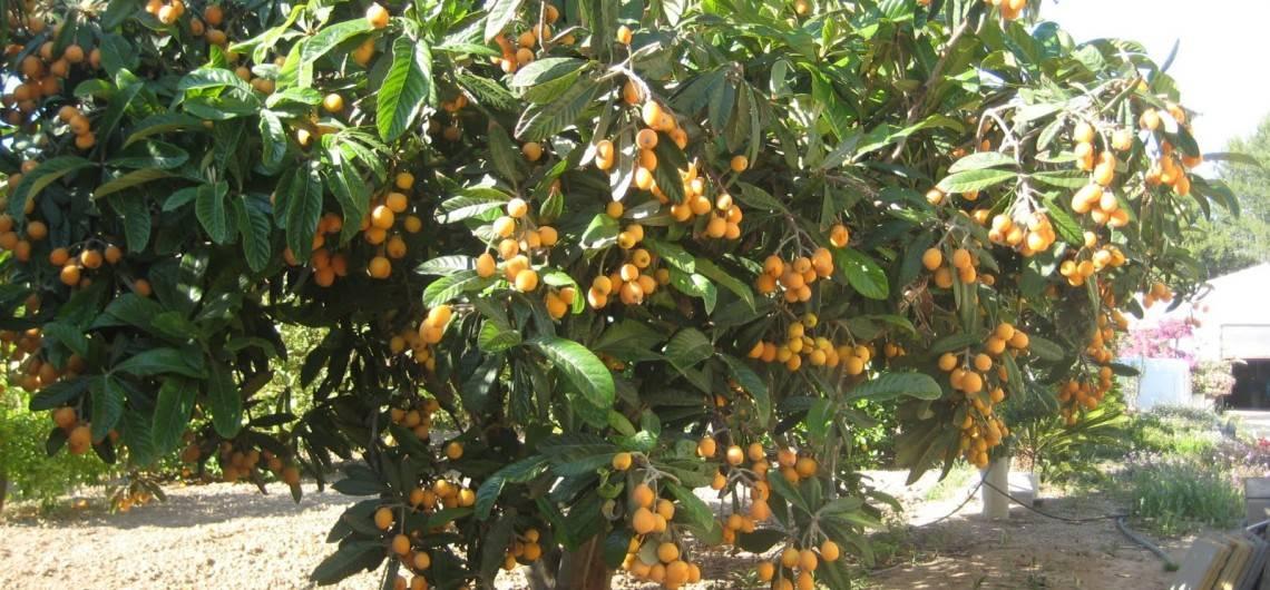 Ее Высочество nispero/мушмула: в Аликанте начат сбор урожая удивительного фрукта