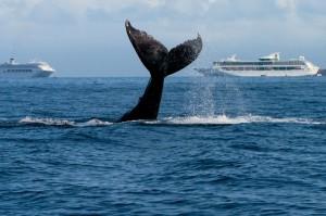 Возвращение горбатых китов в Средиземное море, после столетнего отсутствия