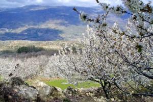 Вишневый цвет в долине Херте